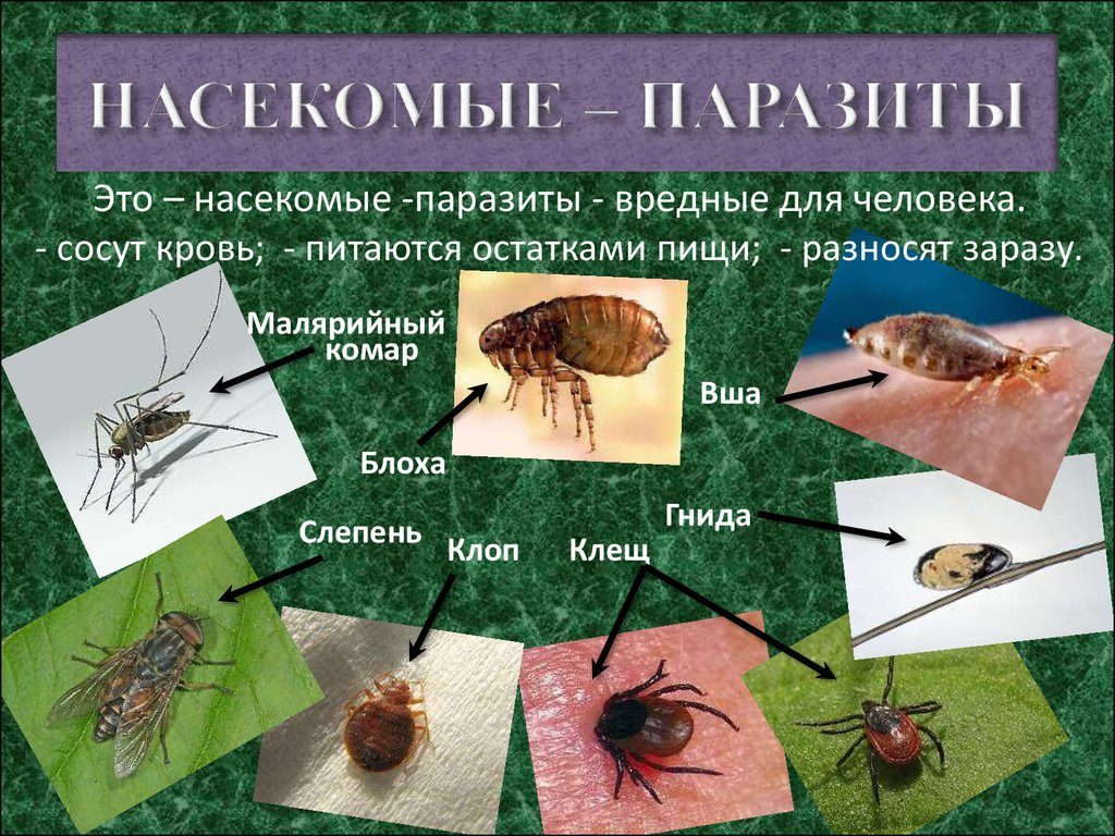 насекомые паразиты у человека