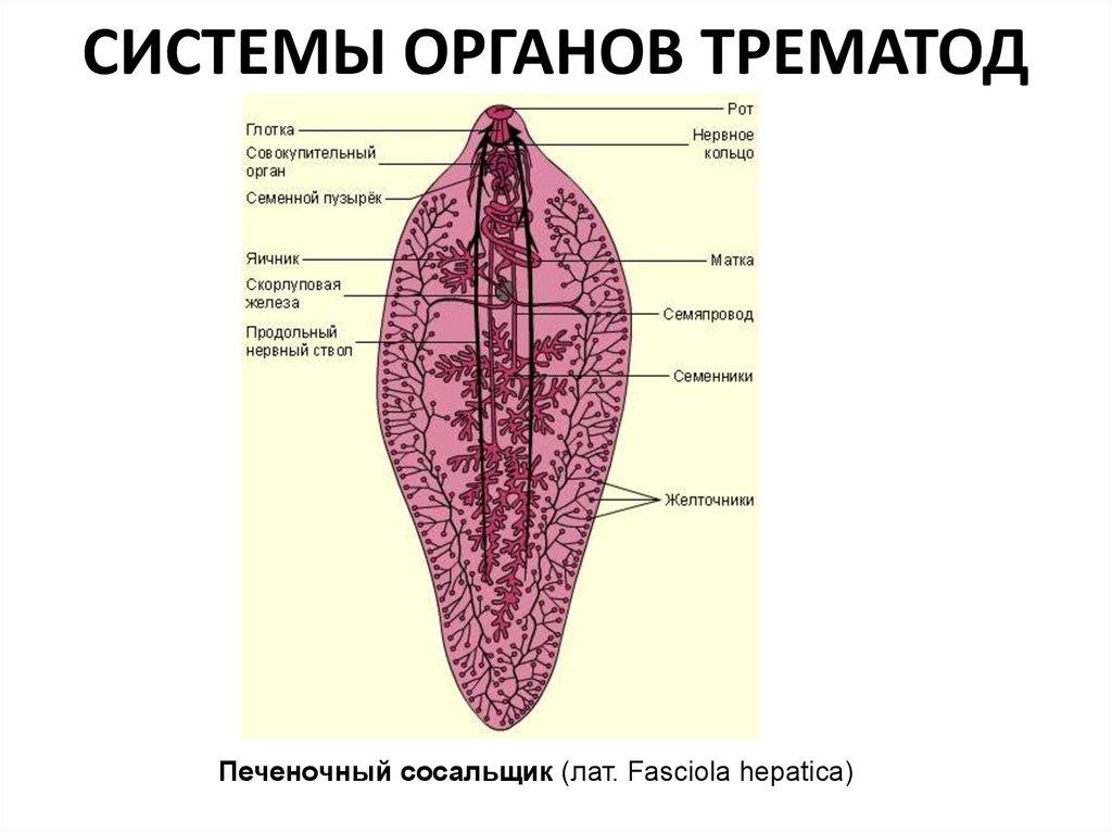 очищение от паразитов в организме