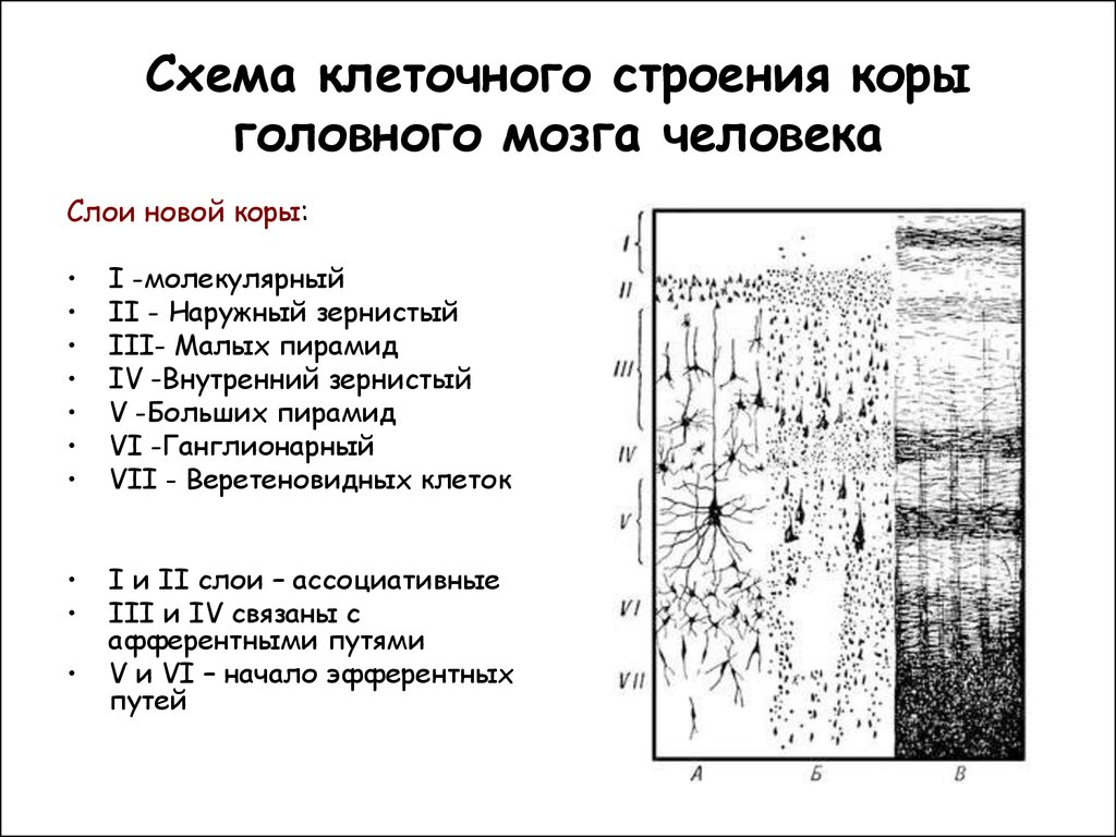 строение ствола головного мозга схема