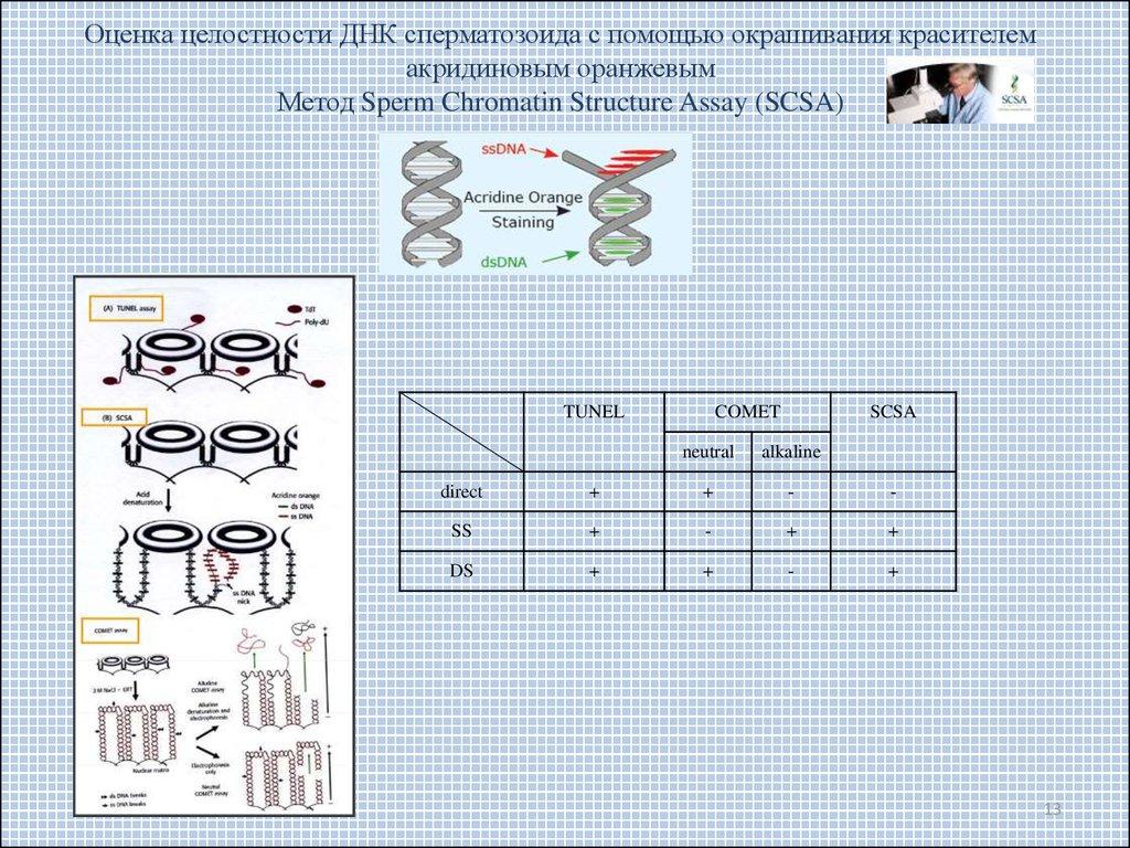 Фрагментация днк сперматозоидов новосибирск