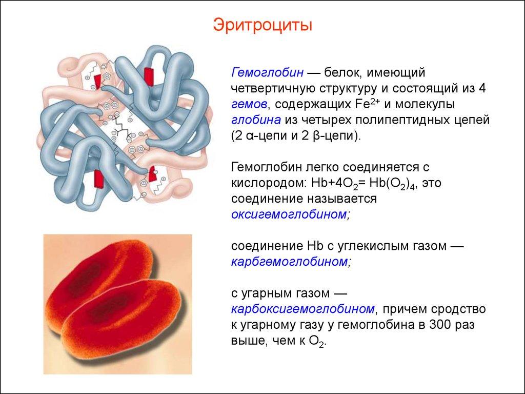 Какие особенности эритроцитов связаны с их функциями 136
