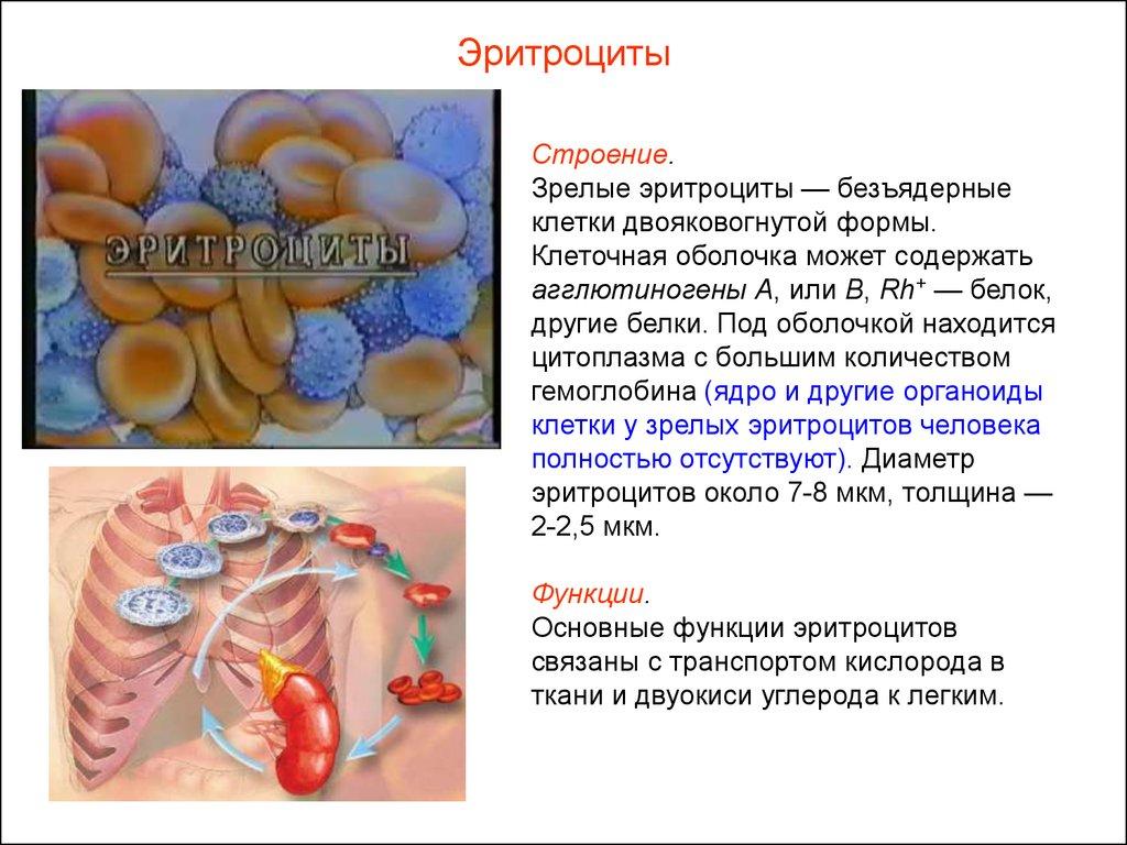 Особенности строения эритроцитов связаны с их функциями 158