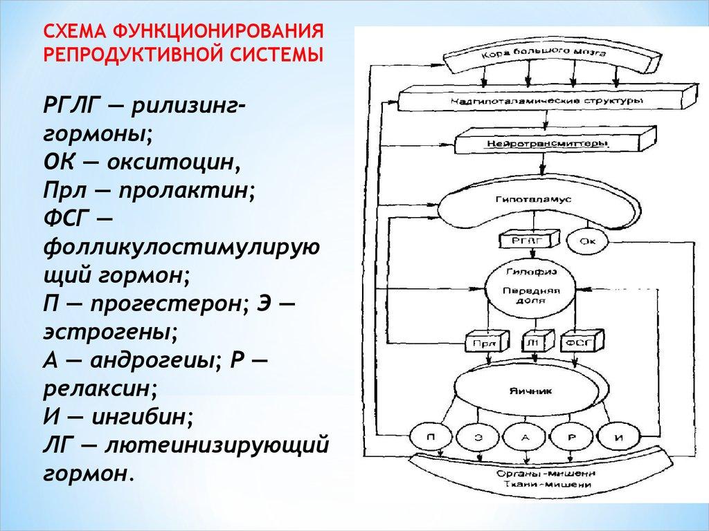 дейтсвие рилизинг гомонов гипоталамуса схема