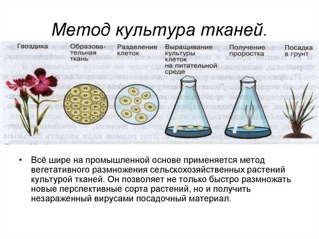 Выращивание тканей вне организма метод