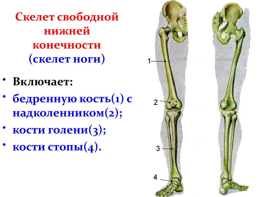 Рисунок скелета конечностей