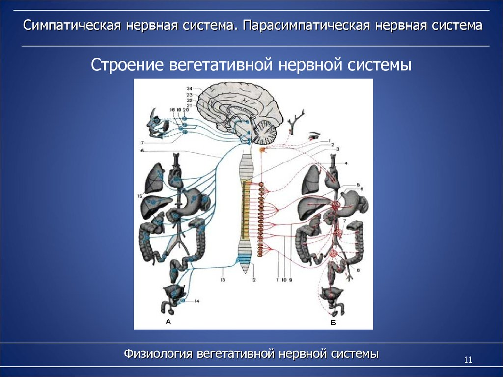 вегетативные функции организма презентация