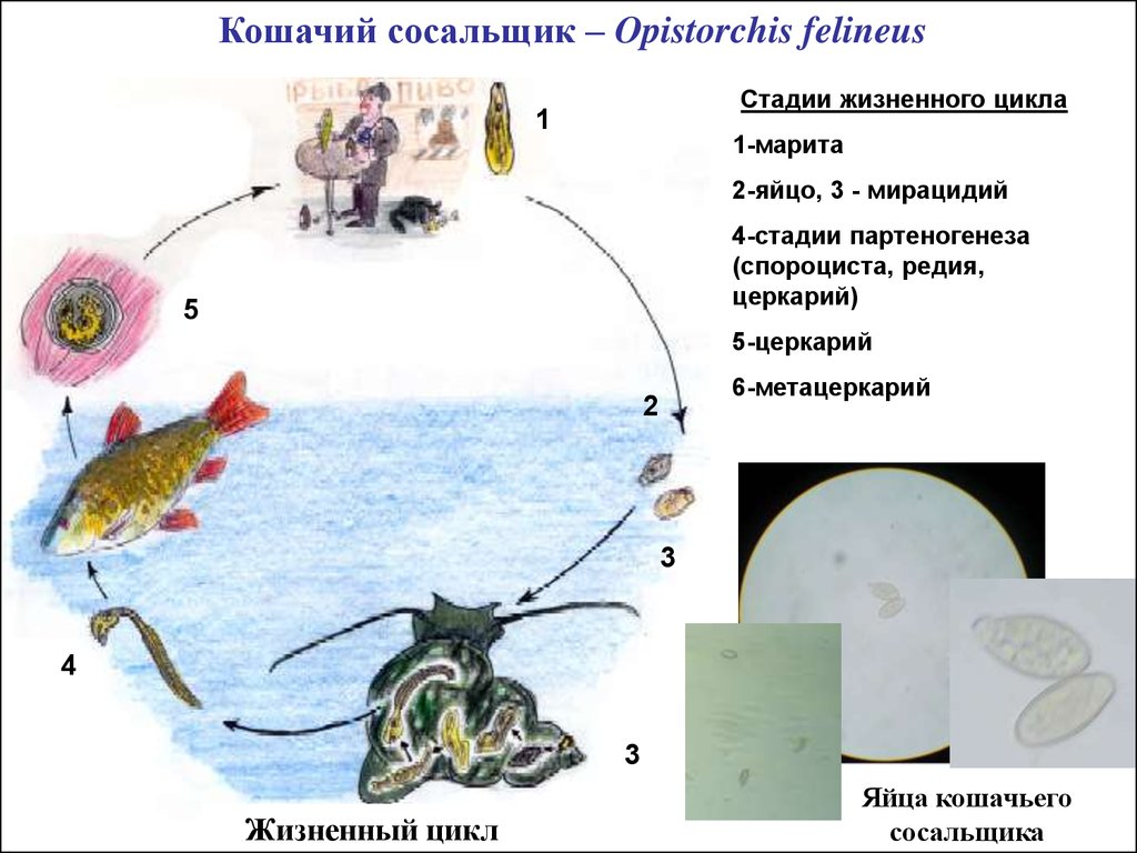 атлас паразитов человека и их переносчиков