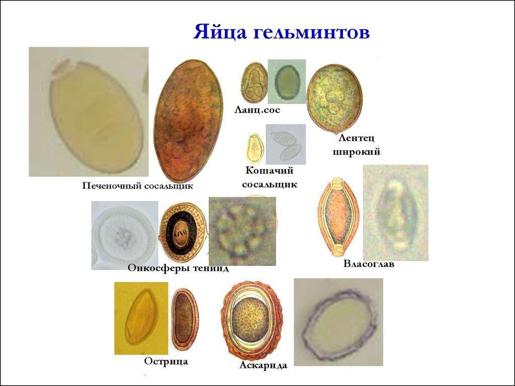 паразиты от яиц
