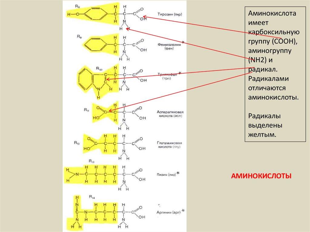 аминокислоты белки презентация 9 класс