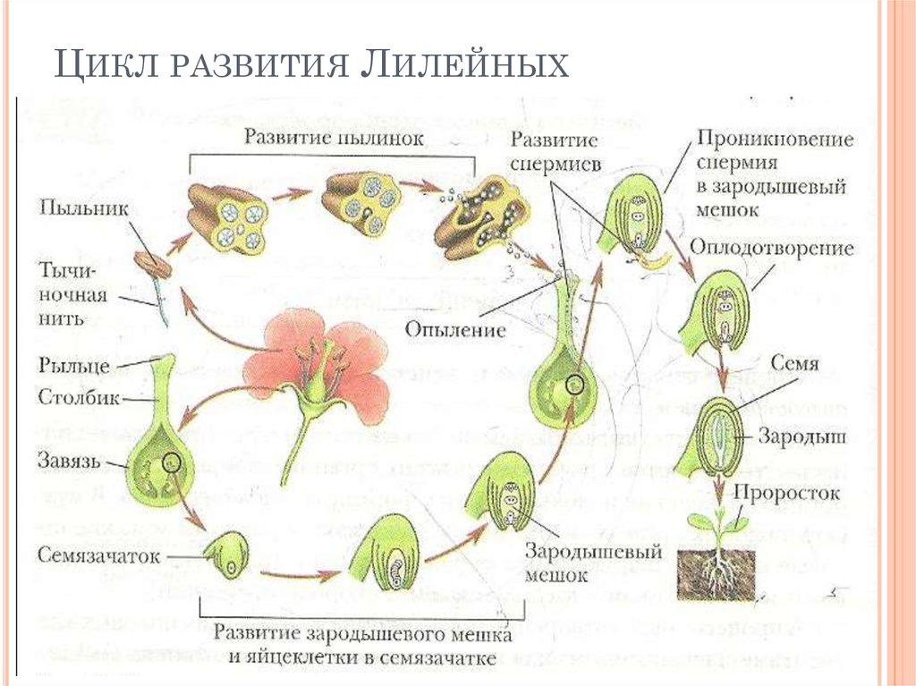 Все стадии развития цветка