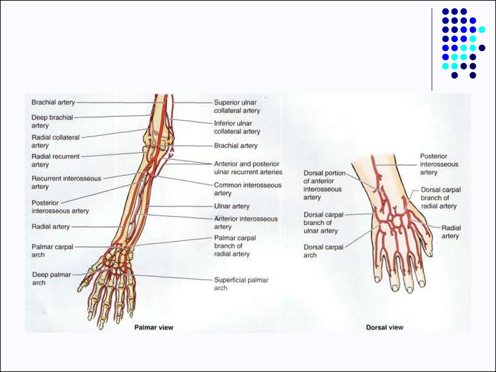 Clinical anatomy of upper limb