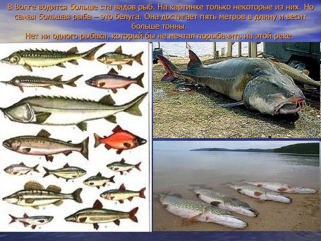 Белуга рыба как ловить на ахтубе