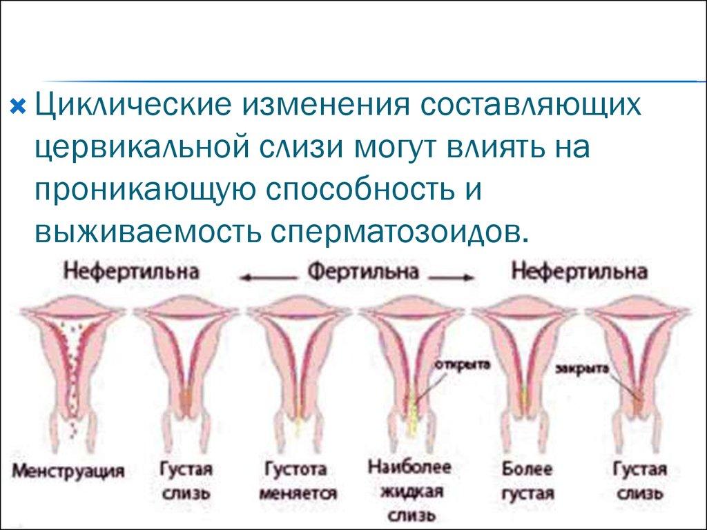 spermatozoidi-ne-prohodyat-cherez-tservikalnuyu-sliz