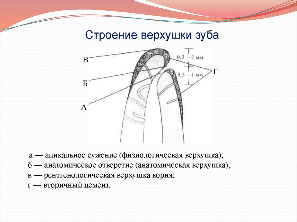 Анатомическая верхушка корня зуба это