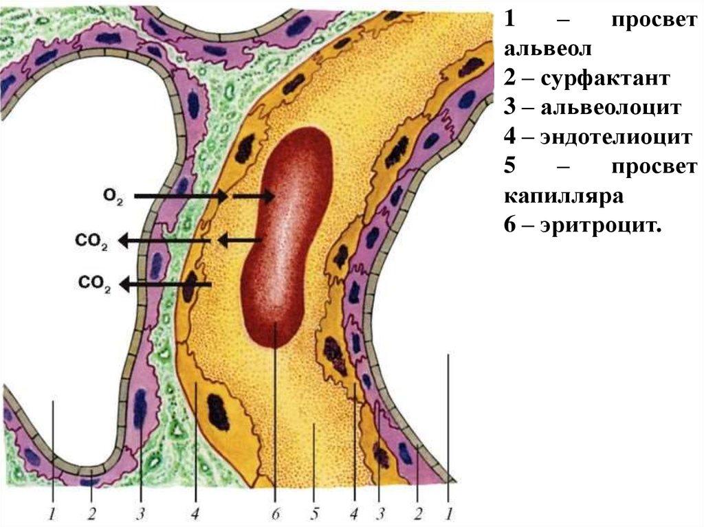 Альвеолоцит