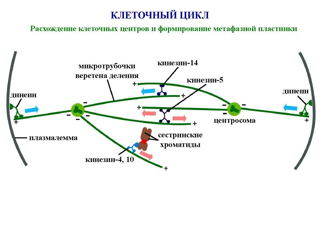 Цитокинез