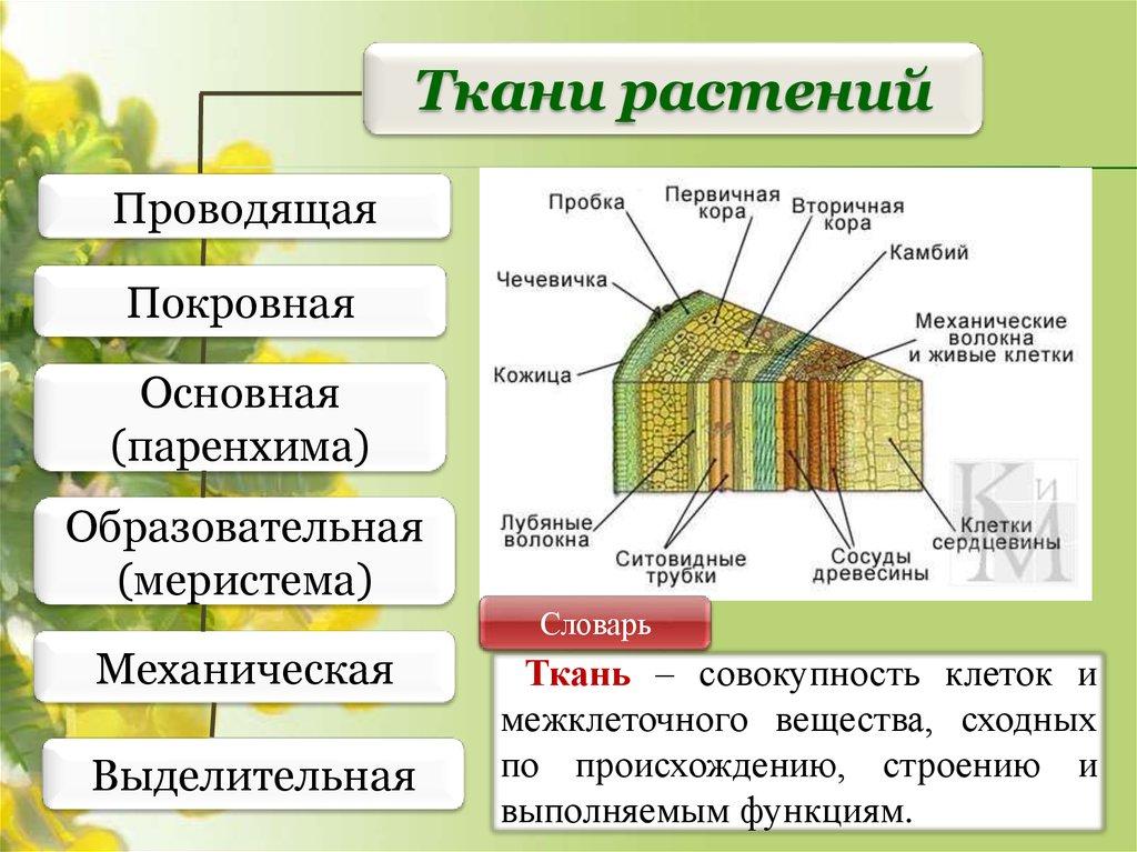 Ткани растений. Сдаем ГИА, ЕГЭ - презентация онлайн Классификация Животных Таблица