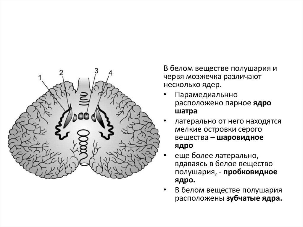 Часть Мозжечка Старая