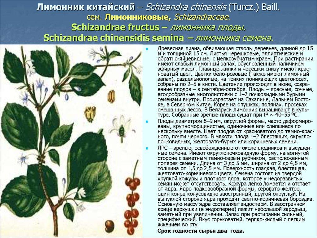 Китайский лимонник лечебные свойства инструкция по