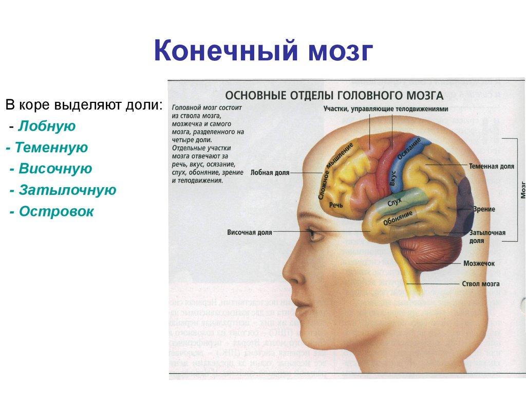 Как головной мозг связан с другими органами