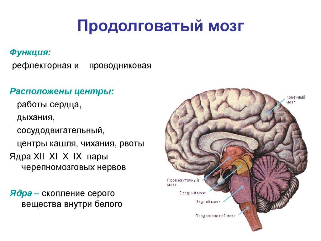 Мозг продолговатый
