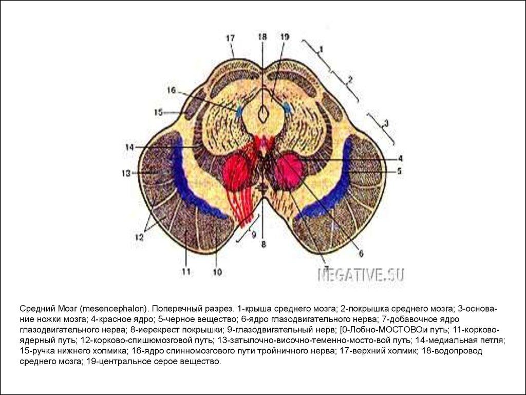 Покрышка Среднего Мозга