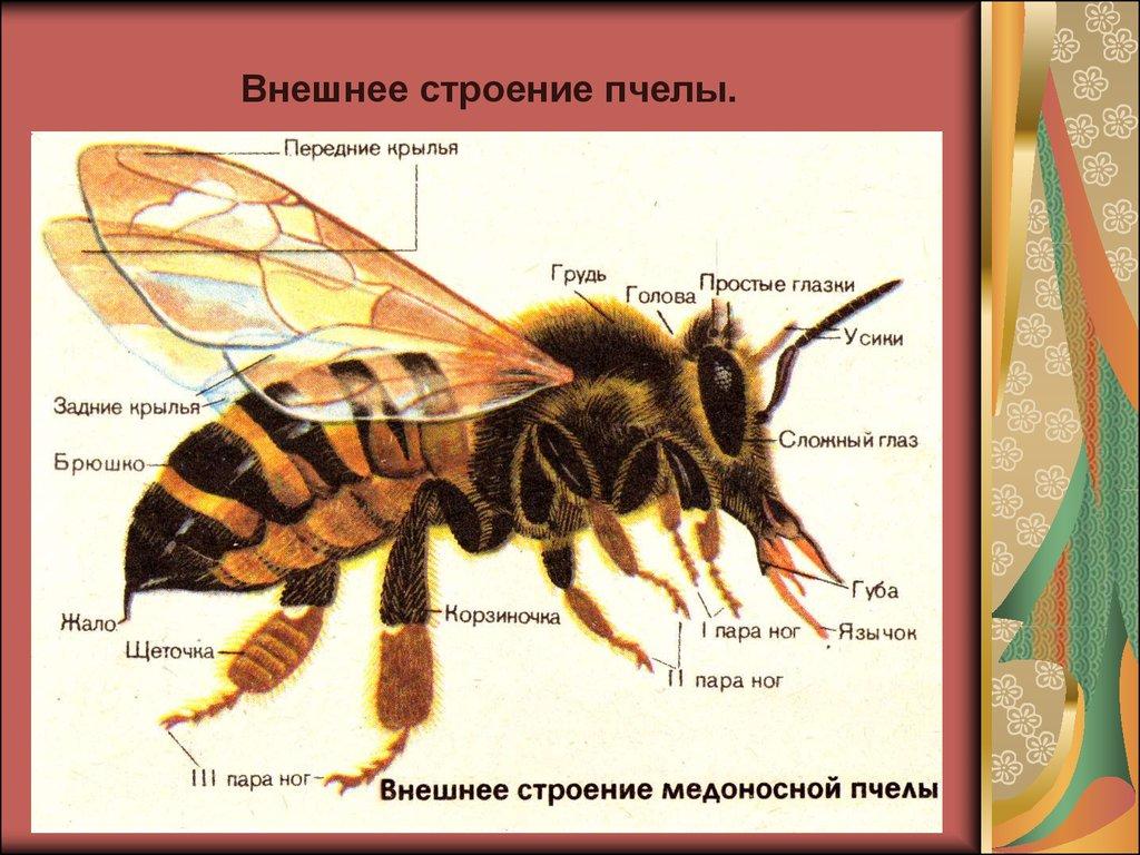 презентации пчлы