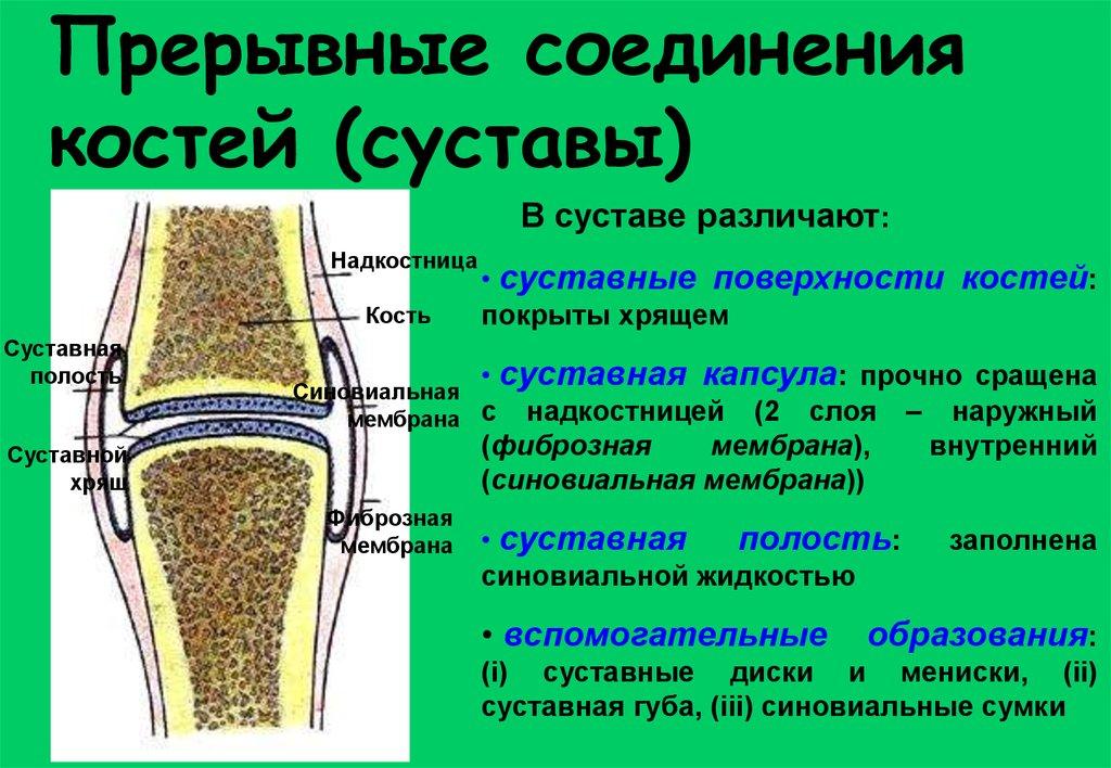 классификация соединений костей строение сустава