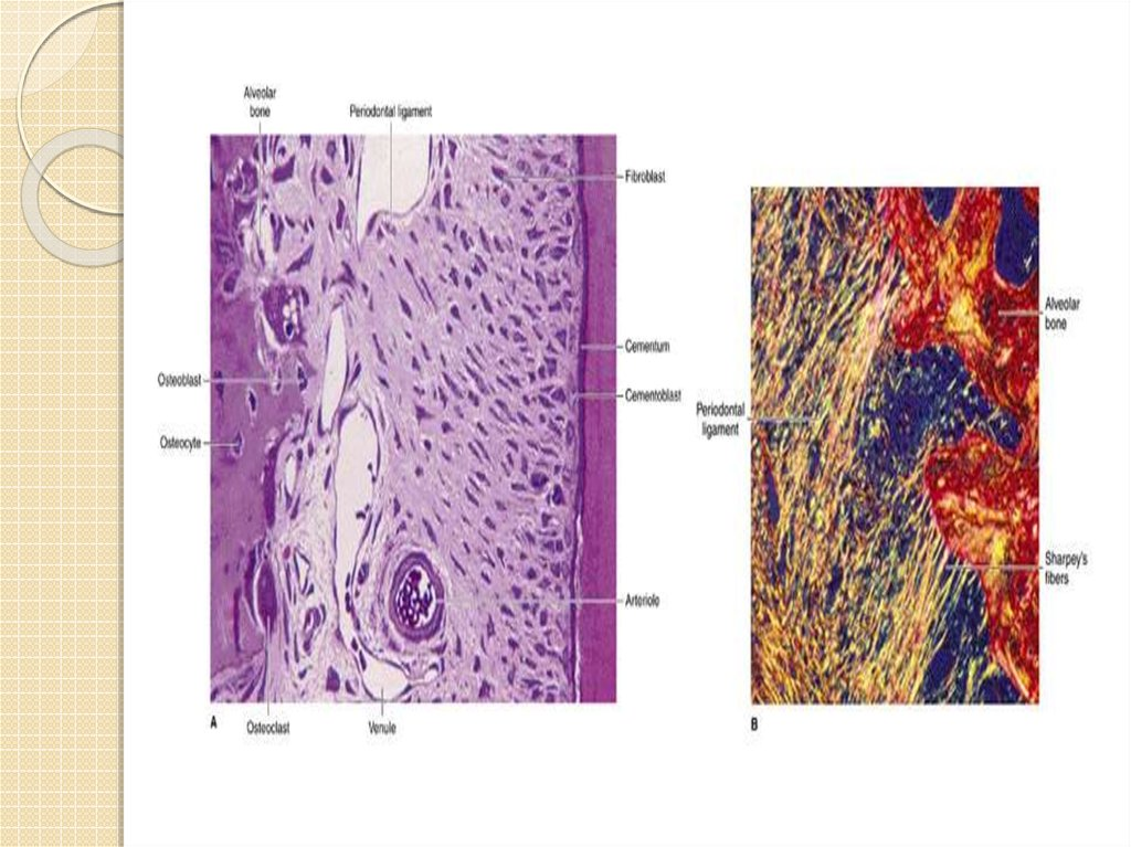 что строение тканей зуба гистология действие