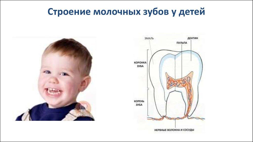 Молочные зубы выпадают с корнем или нет