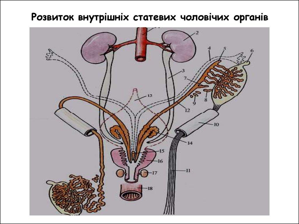 статевий чоловічий орган фото
