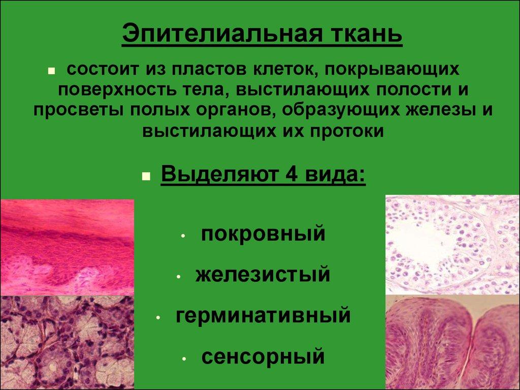 Каемка щеточная эпителиальной ткани
