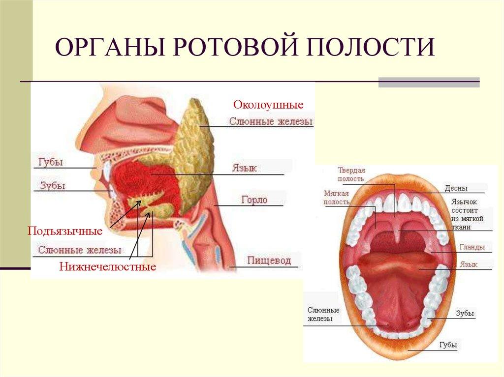 паразиты в ротовой полости человека