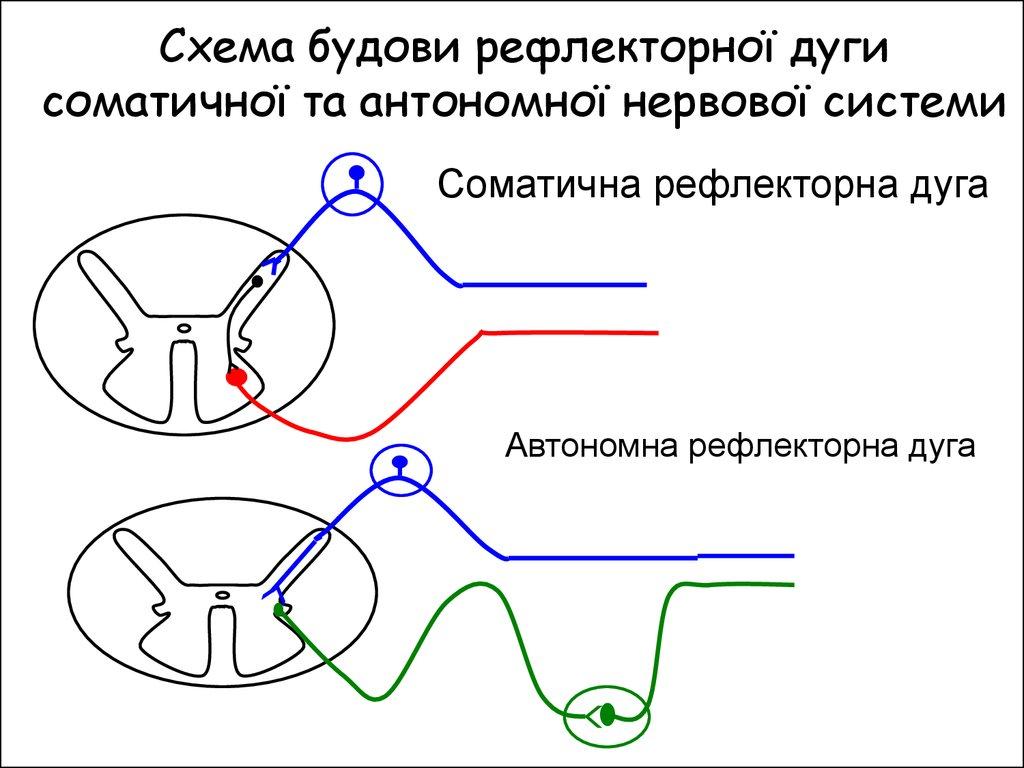 відділи нервової системи схема