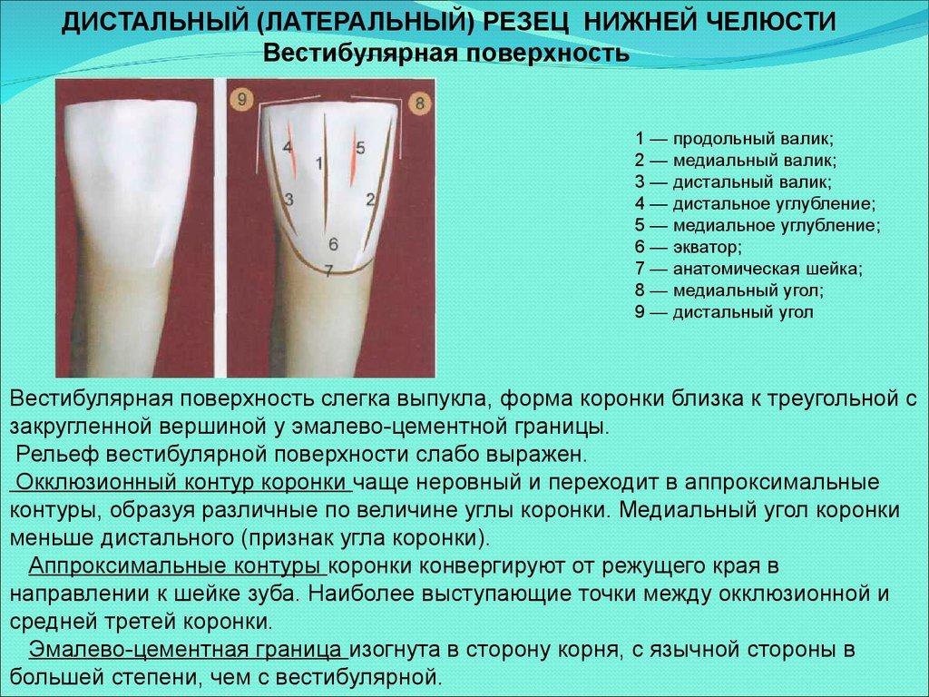 Что такое дистальная сторона зуба