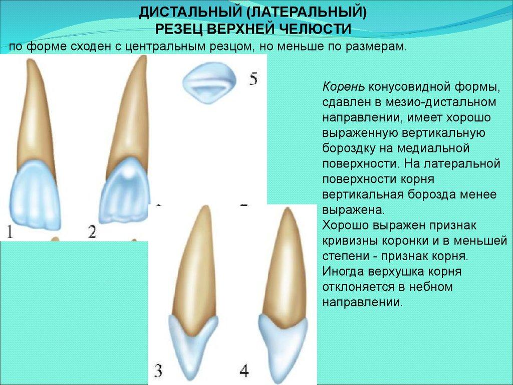 бугорок коронки зуба