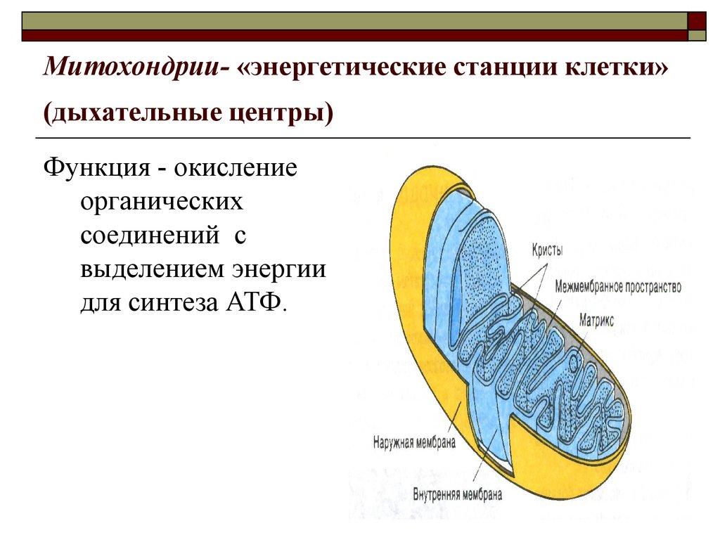 Почему митохондрии называют энергетическими станциями клеток