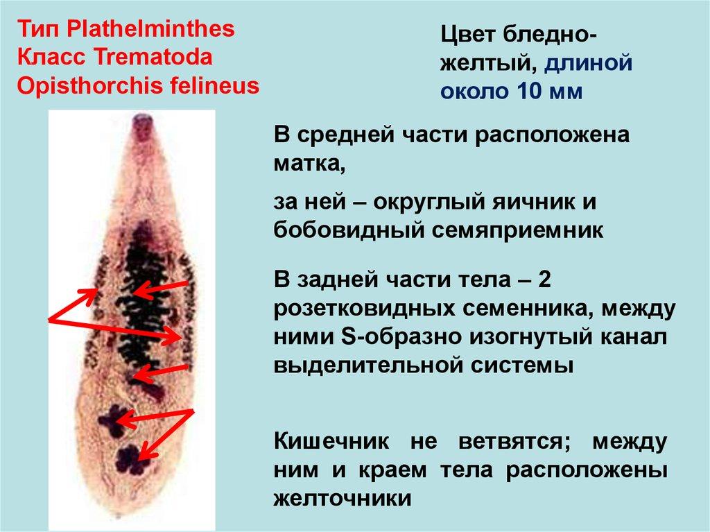 паразиты у человека виды