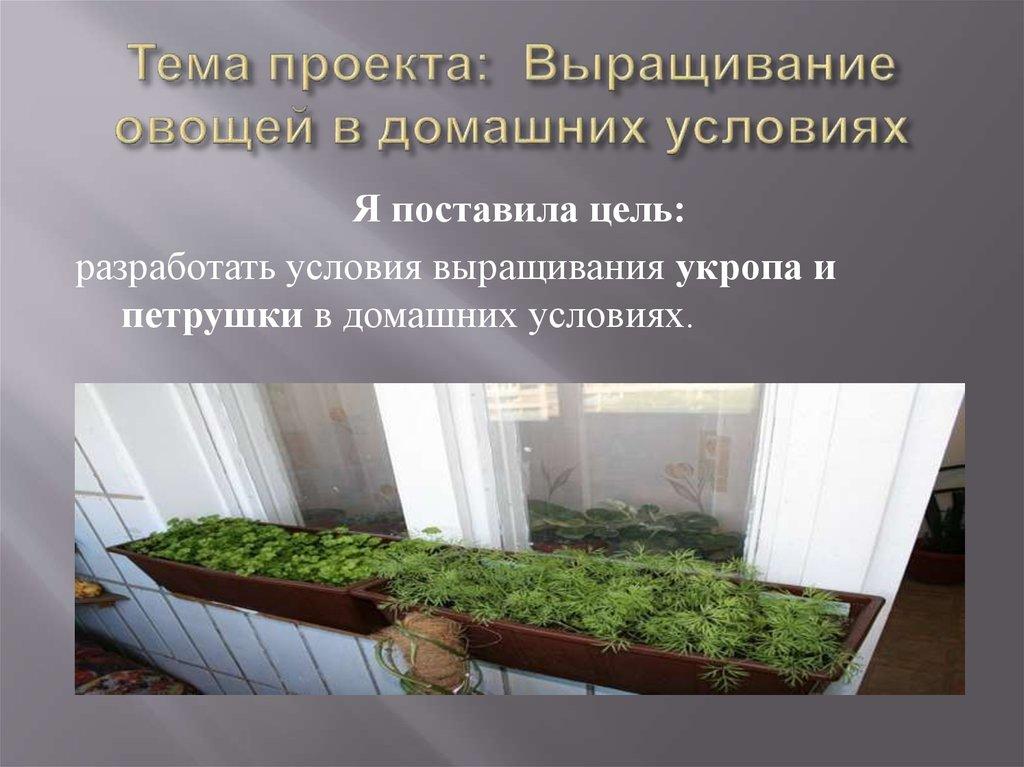 Условия выращивания укропа в домашних условиях