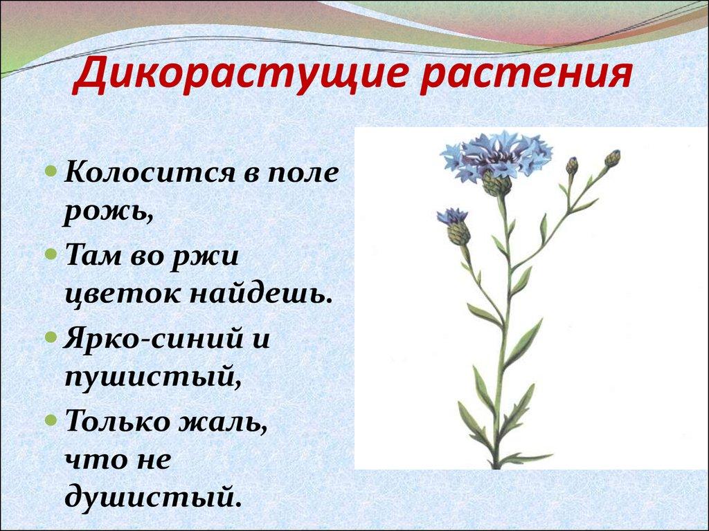 Все о дикорастущих цветах и их