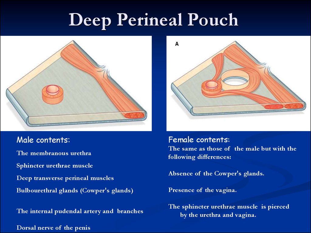 Pelvic аnatomy Online Presentation