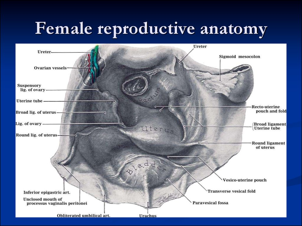 Female bone anatomy