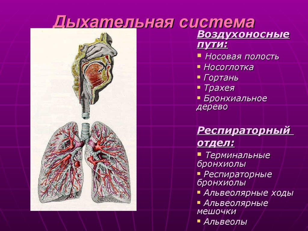 дыхательная система контрольная работа