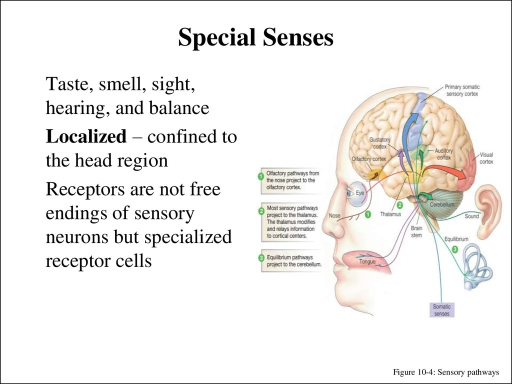 sensory deficit of touch its pain In the cerebral cortex, sensory processing begins at the primary sensory cortex, then proceeds to an association area, and finally, into a multimodal integration area for example, the visual pathway projects from the retinae through the thalamus to the primary visual cortex in the occipital lobe.