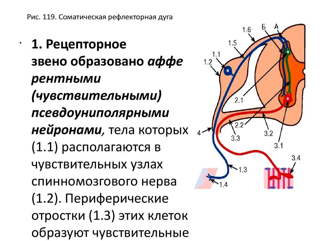 Периневрий