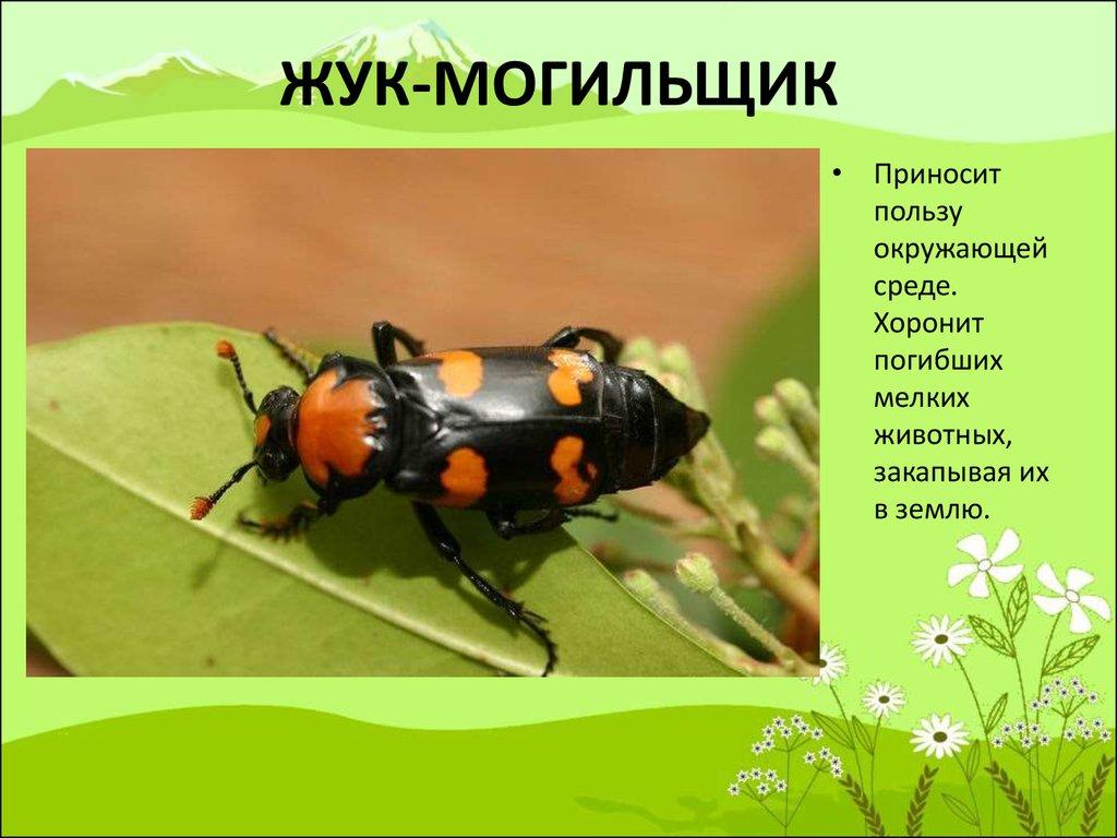 Почему жук-могильщик так называется