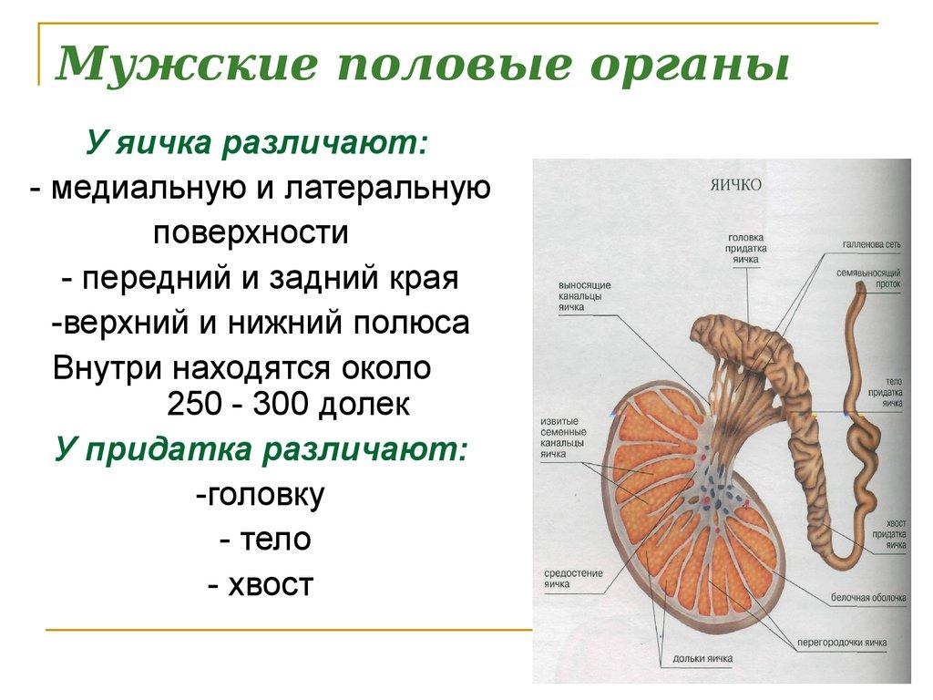 Мужские половые органы в картинках