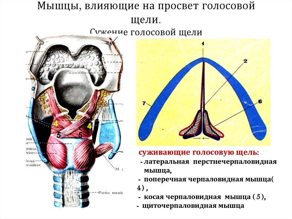 физиология как растут мышцы