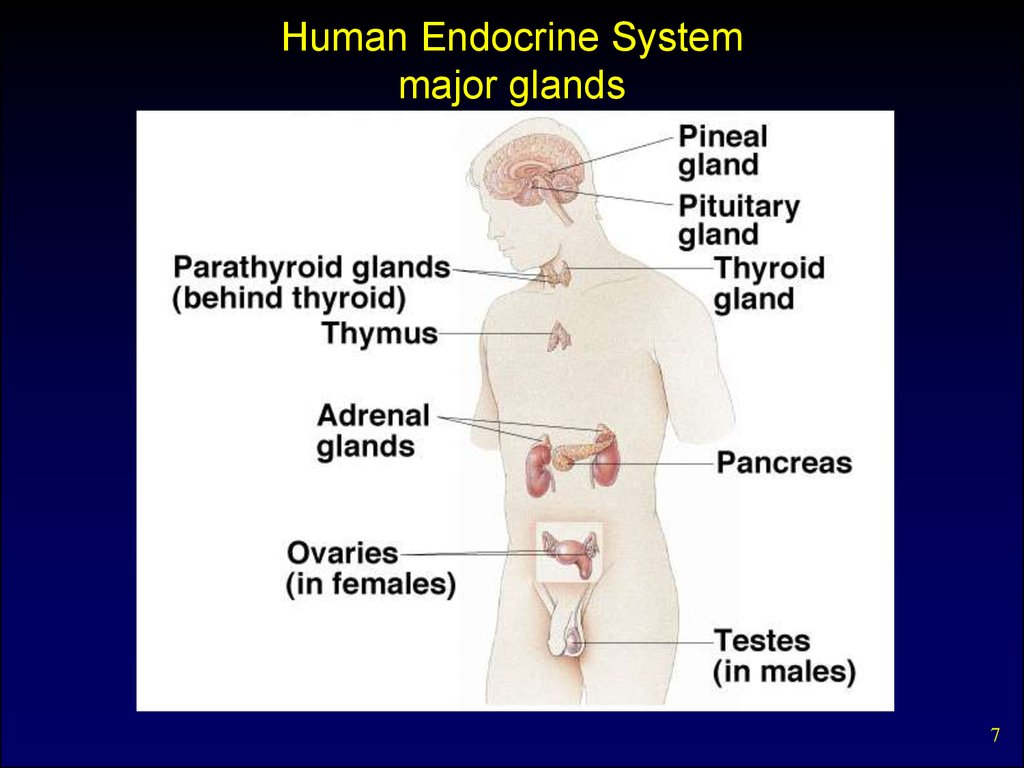 Internal secretion. Basic concepts. Pituitary hormones and their ...