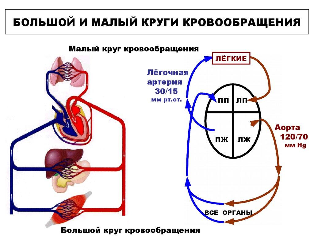 Круги кровообращения малый схема